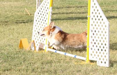 11-4-2018 Border Terrier-0226
