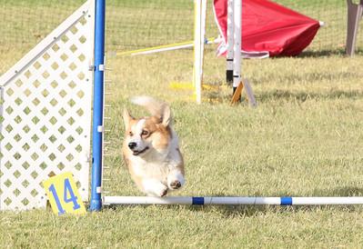11-4-2018 Border Terrier-0225