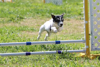 4-1-18 Shetland Sheep Dog-0304