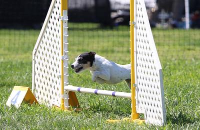 4-1-18 Shetland Sheep Dog-0292