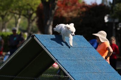 4-1-18 Shetland Sheep Dog-9113