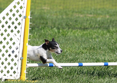 4-1-18 Shetland Sheep Dog-9144
