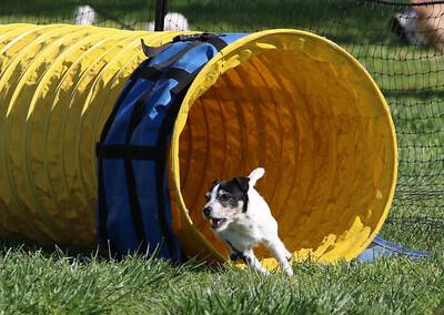 4-1-18 Shetland Sheep Dog-9143