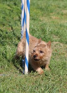 4-1-18 Shetland Sheep Dog-9078