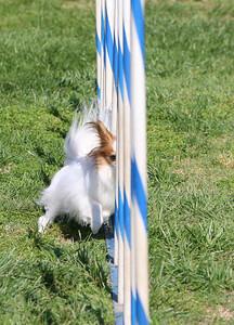 4-1-18 Shetland Sheep Dog-9135