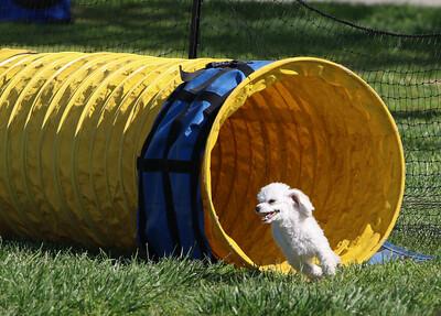 4-1-18 Shetland Sheep Dog-9107