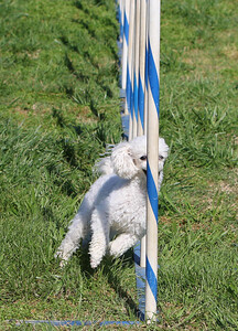 4-1-18 Shetland Sheep Dog-9122