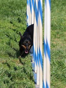 4-1-18 Shetland Sheep Dog-9096