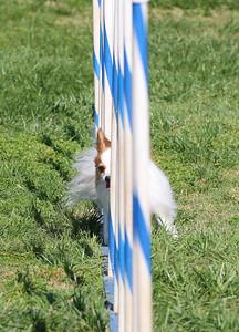 4-1-18 Shetland Sheep Dog-9134