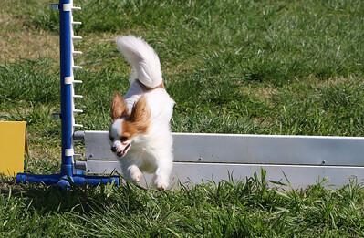 4-1-18 Shetland Sheep Dog-9132