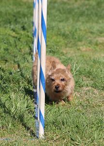 4-1-18 Shetland Sheep Dog-9077