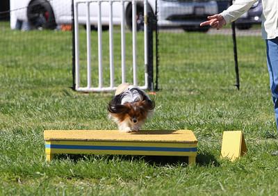 4-1-18 Shetland Sheep Dog-1087