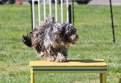 4-1-18 Shetland Sheep Dog-1122