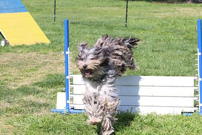 4-1-18 Shetland Sheep Dog-1118