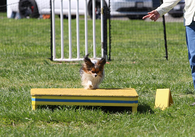 4-1-18 Shetland Sheep Dog-1086