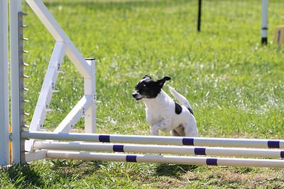 4-1-18 Shetland Sheep Dog-0947