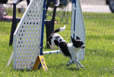 4-1-18 Shetland Sheep Dog-0952