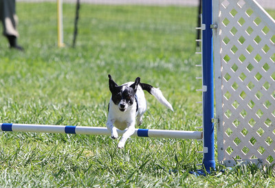 4-1-18 Shetland Sheep Dog-0955