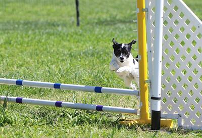 4-1-18 Shetland Sheep Dog-0957