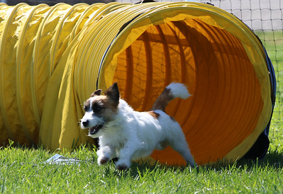 4-1-18 Shetland Sheep Dog-0963