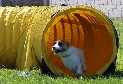 4-1-18 Shetland Sheep Dog-0962