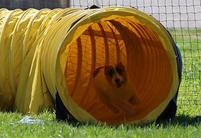 4-1-18 Shetland Sheep Dog-0960