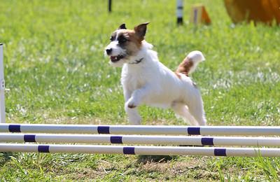 4-1-18 Shetland Sheep Dog-0965