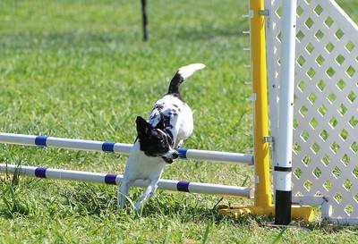 4-1-18 Shetland Sheep Dog-0959