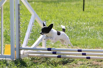 4-1-18 Shetland Sheep Dog-0948