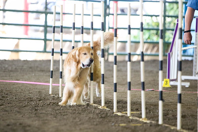 9-1-18 NorCal Goldens-7925