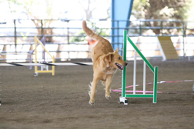 9-1-18 NorCal Goldens-7973