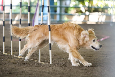 9-1-18 NorCal Goldens-7958