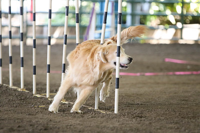 9-1-18 NorCal Goldens-7957