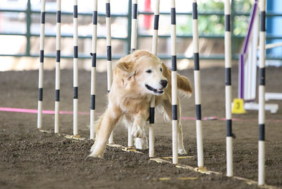 9-1-18 NorCal Goldens-7952