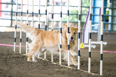 9-1-18 NorCal Goldens-7930