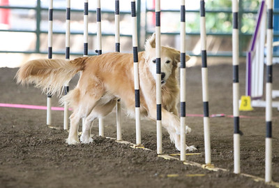 9-1-18 NorCal Goldens-7951