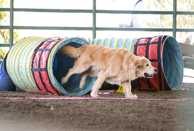 9-1-18 NorCal Goldens-7947