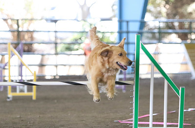 9-1-18 NorCal Goldens-7972