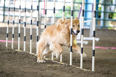 9-1-18 NorCal Goldens-7932