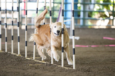9-1-18 NorCal Goldens-7956