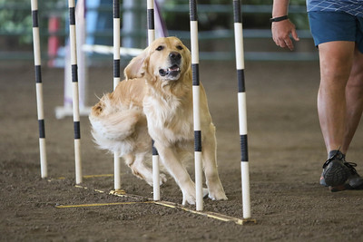 9-1-18 NorCal Goldens-8848