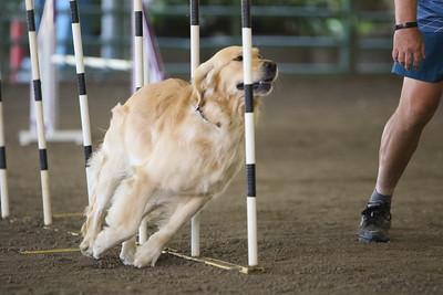 9-1-18 NorCal Goldens-8851