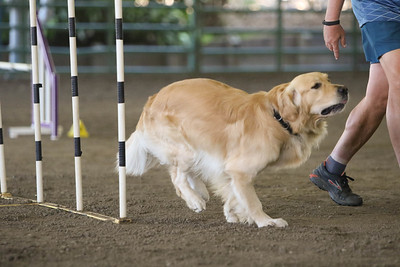 9-1-18 NorCal Goldens-8853