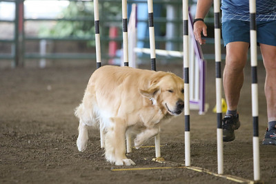 9-1-18 NorCal Goldens-8846