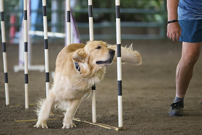 9-1-18 NorCal Goldens-8850