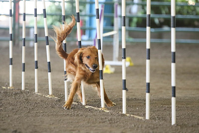 9-1-18 NorCal Goldens-8530