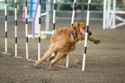 9-1-18 NorCal Goldens-8533