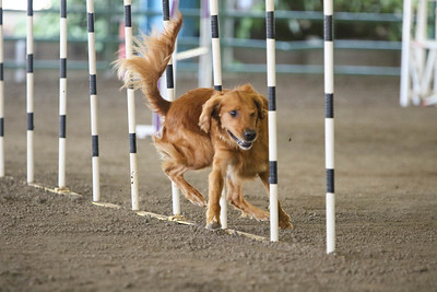 9-1-18 NorCal Goldens-8532