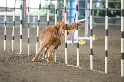 9-1-18 NorCal Goldens-8528