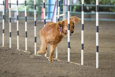 9-1-18 NorCal Goldens-8531